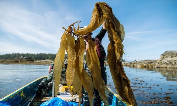 Meet the 'star ingredient' changing fortunes in Alaska's waters: seaweed